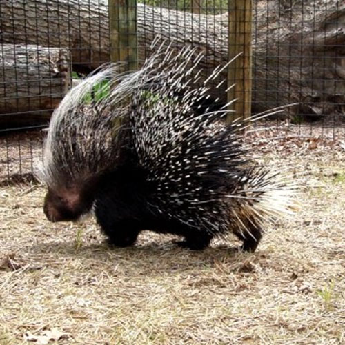 Southern Crested Porcupine